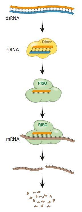 2000년대 초 RNA간섭의 대략적인 작동 메커니즘이 밝혀졌다. 이에 따르면 RNA이중가닥에서 mRNA에 상보적인 단일가닥이 RISC에 결합돼 RISC가 표적인 mRNA를 파괴하는데 가이드 역할을 한다. - 노벨재단 제공