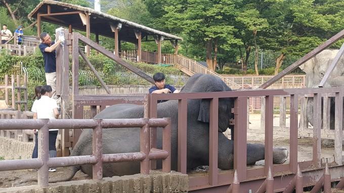 지난 5일 서울대공원에 아시아코끼리 가자바가 약 16시 55분경 경련으로 주저앉아 치료를 받는 모습이다. 의료진에 조치에도 19시경 결국 숨을 거뒀다.- 서울대공원 제공