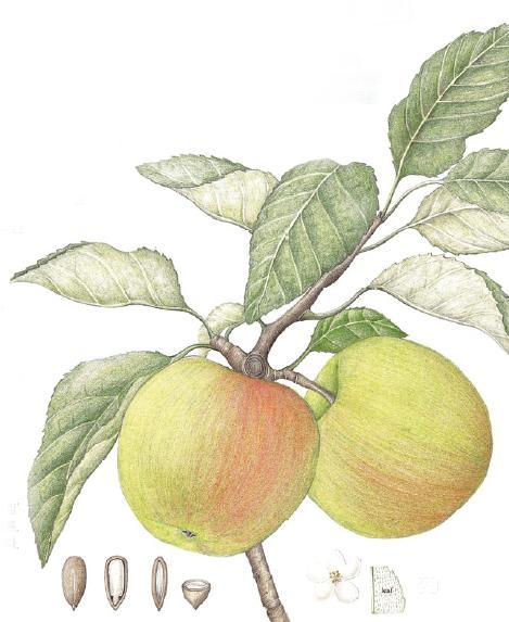식물세밀화로 그린 신품종 '서머킹' 사과의 모습. 사과의 생김새는 물론, 종자와 잎, 꽃의 형태까지 담고 있다.