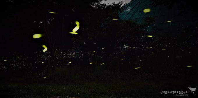 파파리반딧불이 군무 - 홀로세생태보존연구소 촬영(2018.06.18)