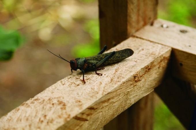 세계에서 가장 큰 메뚜기 중 하나인 덕스대왕메뚜기. 손바닥만 한 괴물 메뚜기가 캠프 난간을 갉아 먹는 모습을 처음 봤을 땐 가슴이 철렁했다 - 전종윤 연구원 제공