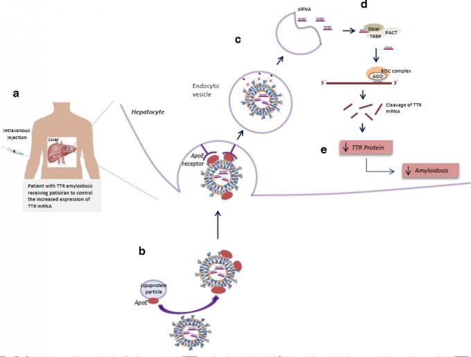 유전성 트랜스티레틴 아밀로이드증 치료제인 파티시란의 작동 메커니즘을 도식화한 그림이다. 파티시란을 정맥투여하면(a) RNA이중나선이 들어있는 지질나노입자가 혈관을 타고 다니다 표적인 간세포로 들어간다(b. 나노입자 표면에 ApoE 단백질을 붙여 간세포 표면의 ApoE 수용체에 달라붙게 했다). 세포 안에서 나노입자가 해체되며(c) RNA이중가닥이 빠져나와 다이서에서 가공된 뒤 표적인 변이 트랜스티레틴(TTR) mRNA와 상보적인 단일가닥이 RICS에 결합돼 TTR mRNA를 파괴한다(d). 표적인 변이 트랜스티레틴(TTR) mRNA와 상보적인 단일가닥이 RICS에 결합돼 TTR mRNA를 파괴한다(d). 그 결과 변이 단백질이 축적되지 않아 아밀로이드증이 개선된다(e). 'Pharmaceutical Research' 제공