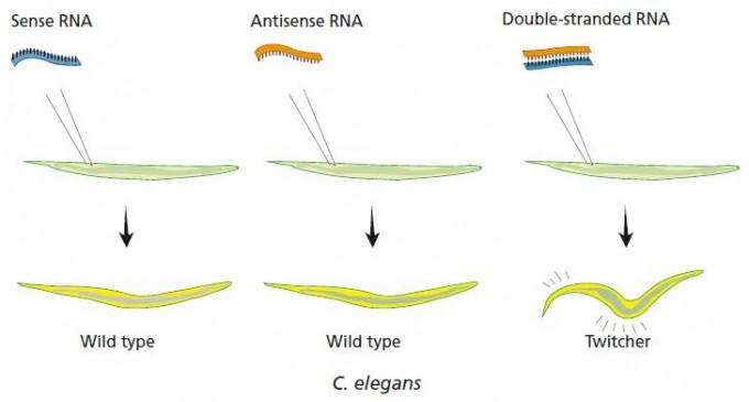 1998년 학술지 '네이처'에 발표한 논문에서 앤드루 파이어와 크레이그 멜로는 표적 유전자와 같은 서열인 RNA(센스)나 상보적인 서열인 RNA(안티센스)는 발현 억제 효과가 거의 없고 RNA이중가닥이 효과가 크다는 사실을 발견했다. 그림은 unc-22유전자를 대상으로 한 결과로, RNA이중가닥을 넣어 발현이 크게 떨어진 결과 예쁜꼬마선충이 경련을 일으킨다. - 노벨제단 제공