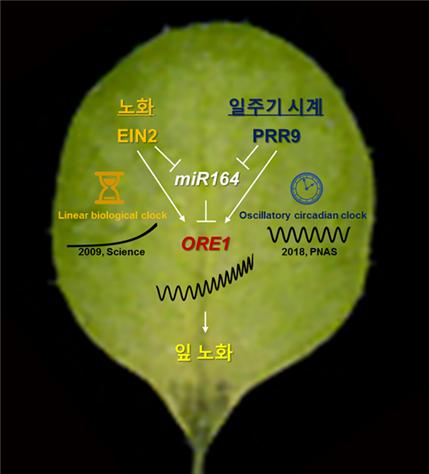 식물의 생체리듬 유전자 중 PRR9이 잎의 노화를 조절하는 오래사라1 조절하는 생체내 경로다.-기초과학연구원 제공