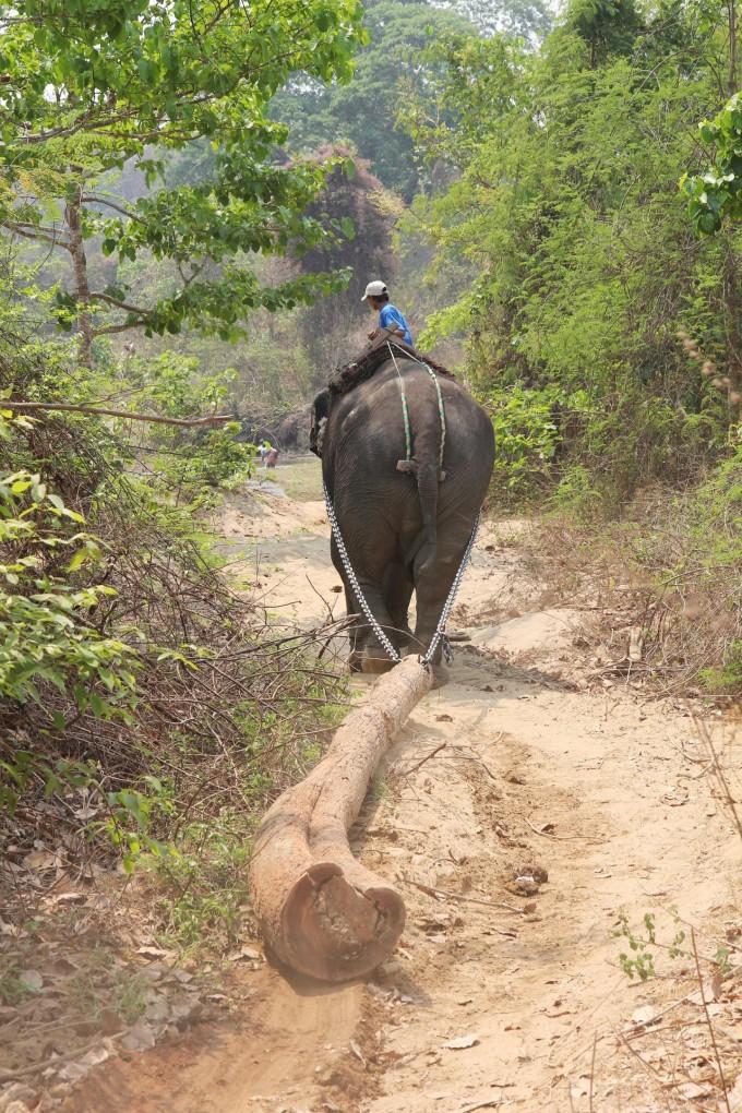 미얀마의 아시아 코끼리가 나무를 운반하는 일을 하고 있다. -Virpi Lummaa 제공