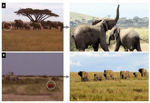 냄새로 사람 구분하는 아프리카코끼리 영국 리처드 바이른 교수팀이 케냐 국립공원에서 실험한 실제 사진. 마사이족 고유의 옷(A)과 캄바족이 입었던 옷(B)을 주고 행동을 관찰했다. 그 결과 코끼리는 마사이족이 입었던 고유의 옷 냄새를 맡았을 때 폭력적인 반응을 보이거나 도망쳤다(오른쪽 위).