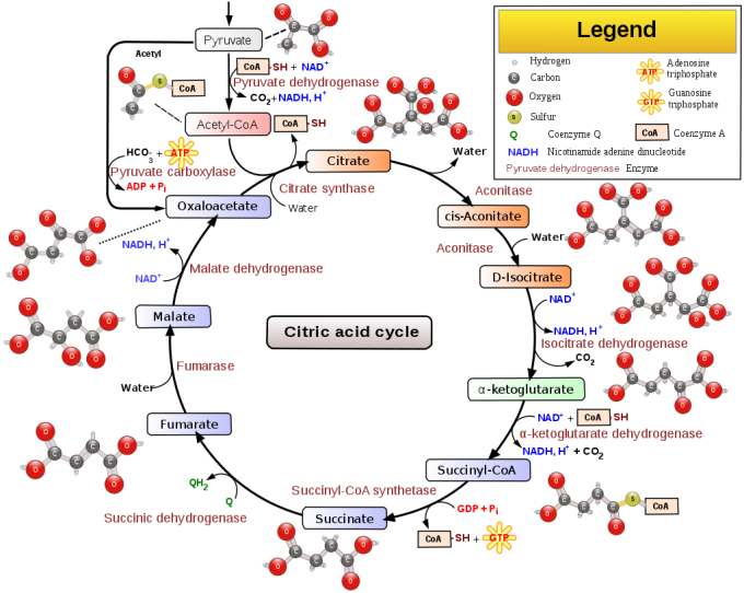 미토콘드리아에서 일어나는 세포호흡의 첫 단계인 '구연산 회로(TCA 회로)'의 핵심을 보여주는 일러스트다. 영양분은 아세틸-CoA의 형태로 회로에 공급돼 옥살로아세트산(oxaloacetate)와 반응해 구연산(citrate)이 된 뒤 여러 반응을 거쳐 전자와 수소이온, 이산화탄소로 바뀐다. 회로 아래 숙신산(succinate)이 보인다. - 위키피디아 제공
