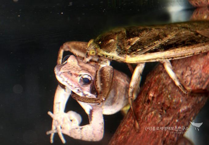 물장군의 개구리 포식 - 홀로세생태보존연구소 제공