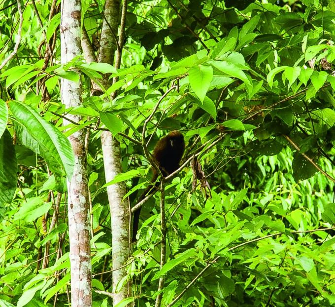 나무를 건너가는 붉은배티티원숭이도 종종 볼 수 있었다. - 전종윤 연구원 제공