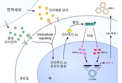 B형 간염바이러스에 감염되면 이를 제거하기 위해 다양한 신호전달물질이 면역세포에서 분비된다. 건국대 연구진은 간세포에서만 생겨나는 인터류킨-32가 B형간염 바이러스를 제거한다는 사실을 알아냈다. 건국대 제공.