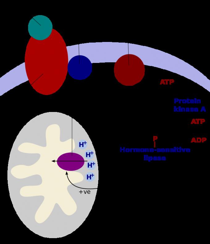 저온 노출 등의 자극으로 교감신경이 활성화되면 갈색지방조직으로 신호(이 경우 노르에피네프린(norepinephrine))를 보내 열생성 반응(지방(triglycerides)을 분해해 열을 낸다)을 유발하는 것으로 밝혀졌다. 이를 매개하는 게 갈색지방세포 표면의 베타-아드레날린수용체(β-adrenergic receptor)다. 약재 마황이 다이어트 효과를 내는 이유도 베타-아드레날린수용체에 달라붙는 에페드린이 들어있기 때문이다. 그림에서 thermogenin이 UCP1이다. 한편 갑상샘 항진증이면 열이 나고 살이 빠지는 반면 저하증이면 몸이 차고 살이 찌는 것도 열생성과 관련돼 있다. - 위키피디아 제공