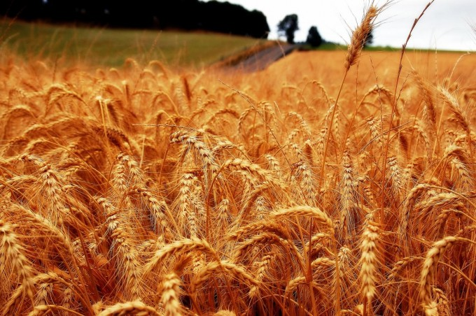 풍요로운 밀 밭. 기후변화가 계속되면 볼 수 없어질지도 모른다. -사진제공 사이언스