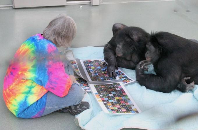 자기 길들이기의 관점에서 네안데르탈인과 현생인류의 관계는 오늘날 침팬지와 보노보의 관계에 해당할지도 모른다. 즉 유전적으로는 비슷하더라도 자기 길들이기로 의사소통 능력을 발전시킨 호모 사피엔스만이 고도의 언어능력을 갖게 된 것일지도 모른다. 보노보 칸지(사진 오른쪽)는 상징과 수화를 통해 사람과 꽤 원활한 의사소통을 할 수 있다. 반면 이런 수준에 도달한 침팬지는 없다. -사진 제공 위키피디아