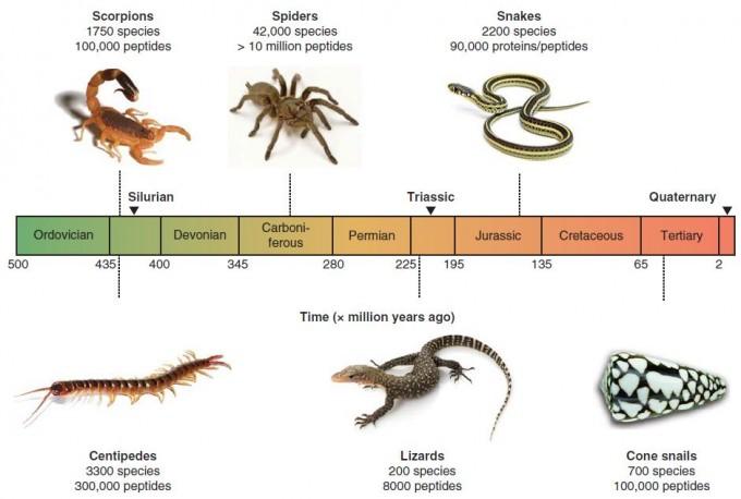 독액을 지닌 대표적인 동물들의 진화 시간표다. 약 4억3000만 년 전 등장한 전갈은 1750여 종이 독액을 지니고 있고 펩티드 종류는 10만여 가지로 추정된다. 비슷한 시기 나온 지네와 약 3억 년 전 등장한 거미에도 많은 종이 독액을 지니고 있다. 2억여 년 전 등장한 도마뱀과 1억5000만 년 전 나타난 뱀도 독액을 즐겨 사용하고 비교적 최근인 5000만여 년 전에 등장한 청자고둥에도 10만 여 가지의 독성 펩티드가 존재할 것으로 추정된다. 시간 단위는 100만 년이다.  - 'Expert Opin. Biol. Ther.' 제공.