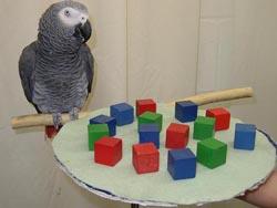"""천재 앵무새 알렉스는 색, 모양, 숫자에 대한 개념을 터득해 사람과 말로 진정한 대화를 나눴다. 예를 들어 사진의 상황에서 """"녹색 큐브가 몇 개?""""라고 묻자 """"네 개""""라고 답했다. -사진 제공 위키피디아"""