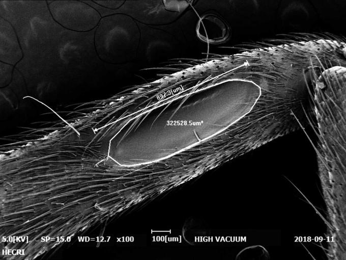 왕귀뚜라미의 고막기관 - 홀로세생태보존연구소 제공