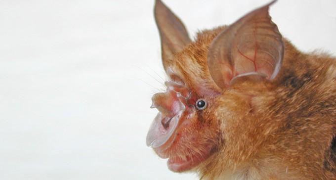 사스 원인으로 지목된 중국 동굴박쥐 - 광동 응용생물자원연구소 제공
