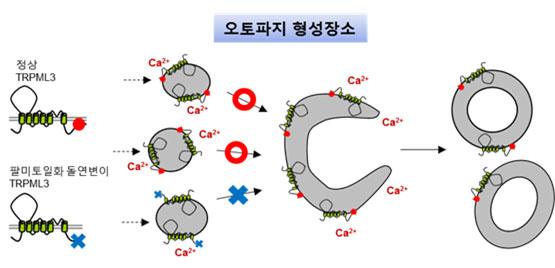 세포 속 청소과정 '오토파지' 조절인자 발견