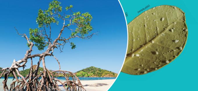 해안가에서 자라는 맹그로브(왼쪽)와  소금 결정이  자라난 맹그로브의  잎 뒤편(오른쪽).  맹그로브의 잎은  염분을 배출하는 기관을  통해 불필요한 소금을 결정의 형태로 배출한다. - GIB, peripitus(W) 제공