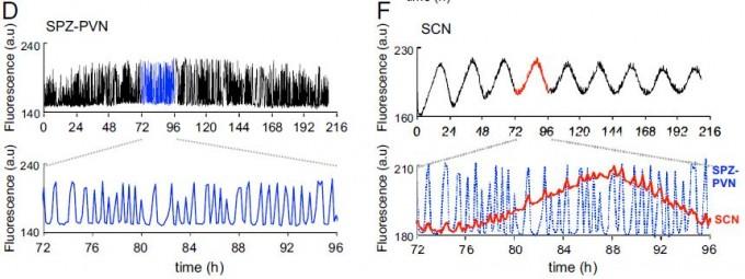 시상하부의 세포 내 칼슘 농도 변화의 주기성을 보여주는 그래프다. 왼쪽은 하부실방구간(SPZ)과 실방핵(PVN) 영역으로 30분에서 4시간 주기의 울트라디언리듬이 강하게 나타난다. 위는 8일 동안의 데이터이고 아래는 그 가운데 24시간을 확대한 그래프다. 오른쪽은 시교차상핵(SCN)으로 24시간 주기의 일주기리듬은 뚜렷하지만 울트라디언리듬은 자세히 봐야 보인다. SPZ-PVN이 울트라디언리듬을 일으킨다는 말이다.  - '미국립과학원회보' 제공