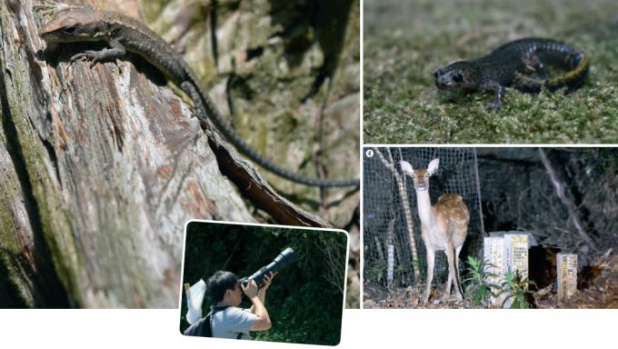 알고 보니 연구원들의 숙소는 '곤겐산'이라는 야산 근처라 야생 생물들을 손쉽게 발견할 수 있었다. 숙소가 있던 히타카츠 지역에서 발견한 아무르장지뱀(1), 민물게(2), 대마도 도롱뇽(3), 사슴(4) 등의 모습. - 어린이과학동아 제공