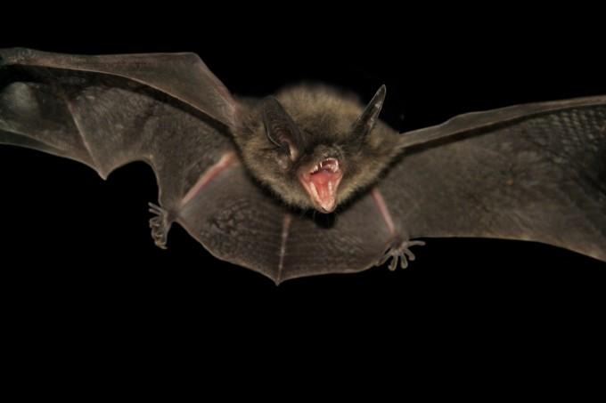 박쥐는 왜 메르스에 안 걸릴까?