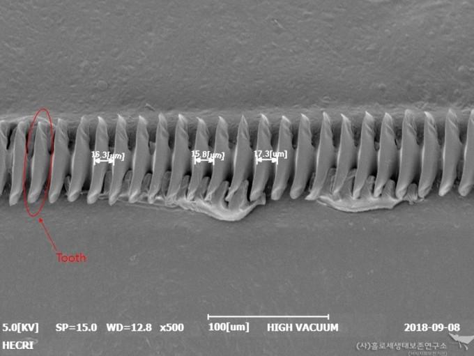 왕귀뚜라미의 File과 Teeth- 홀로세생태보존연구소 제공