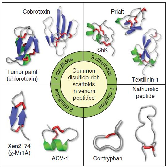 다양한 독액 펩티드의 구조. 아미노산 시스테인 사이의 이황화결합(빨간색) 개수에 따라 분류했다. 이황화결합이 많을수록 펩티드가 더 안정하다. 오른쪽 위 Prialt는 청자고둥의 펩티드 지코니타이드의 제품명으로 2004년 출시된 강력한 진통제다. 그 아래 ShK는 융단열말미잘의 펩티드로 이를 약간 바꾼 분자로 자가면역질환 치료제 임상이 진행되고 있다. - 'Expert Opin. Biol. Ther.'제공