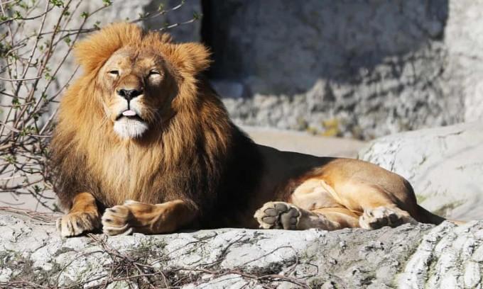 독일 아이펠 동물원의 사자. - 아이펠 동물원 제공
