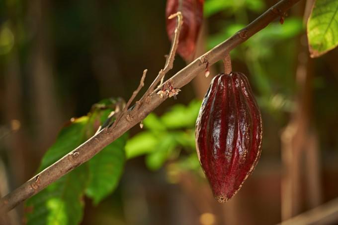 코코아 나무에 열매가 열려 있다-게티이미지뱅크 제공