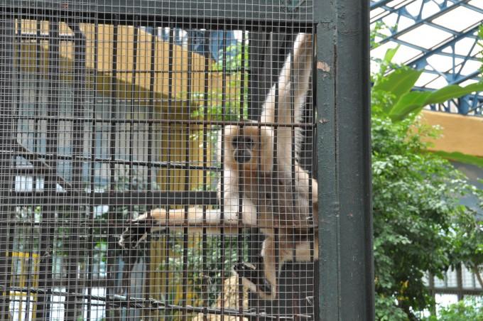 과천 서울대공원 동양관에 있는 흰손긴팔원숭이. 우리 가까이 가자 다가와 창살에 매달려 필자를 물끄러미 바라보고 있다. 긴팔원숭이는 유인원임에도 작은 덩치 때문에 사람들의 관심을 덜 받는 것 같다. - 강석기 제공