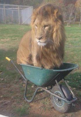 고양이같은 사자