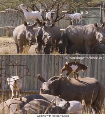 코뿔소 등에서 뛰어 노는 염소들