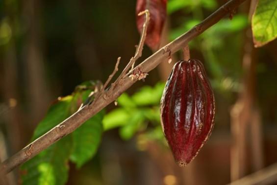 5000년전 남미 원주민 초콜릿 먹었다