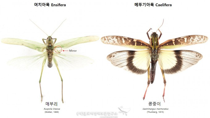 여치아목,메뚜기아목 날개 비교