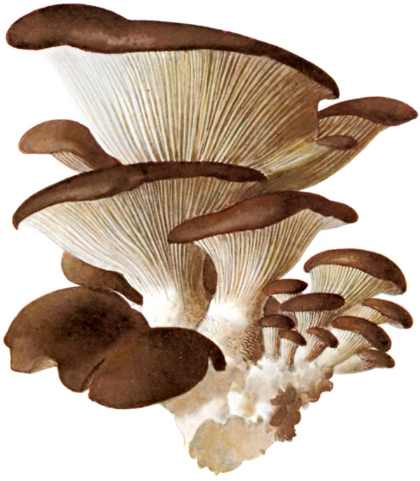 에임스 교수가 논문에서 '장수 비타민으로 추정되는 물질'로 소개한 에르고티오네인은 강력한 항산화제로 심혈관계질환을 예방하고 손상된 조직을 보호하는 것으로 밝혀졌다. 에르고티오네인은 특히 느타리버섯에 많이 들어있다. -위키피디아 제공