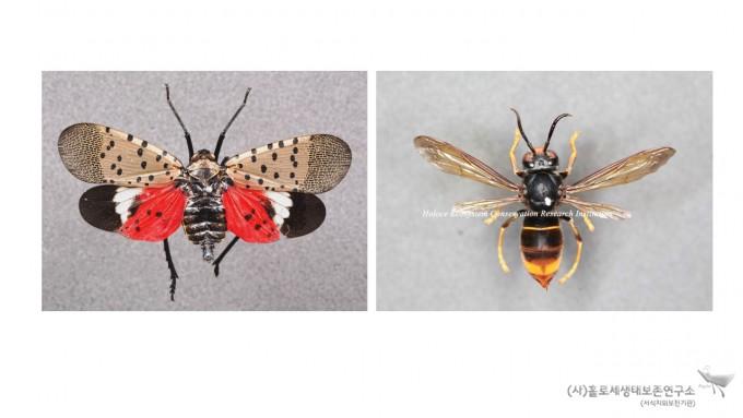 외래곤충(꽃매미, 등검은말벌)