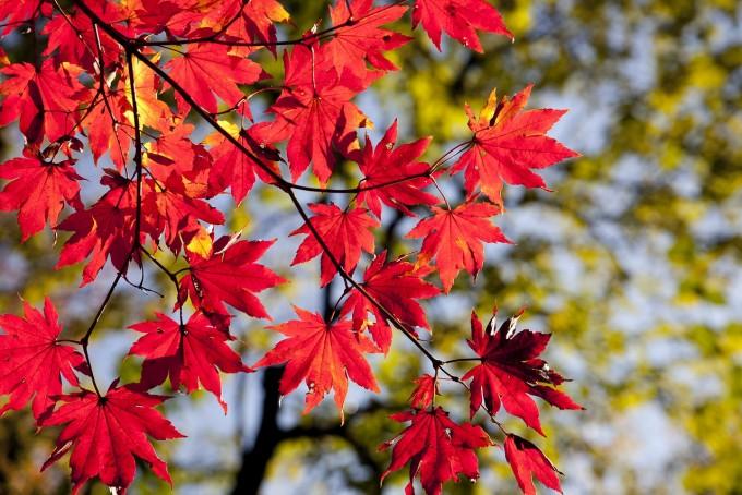 안토시아닌으로 붉게 물든 단풍나무 – 픽사베이 제공