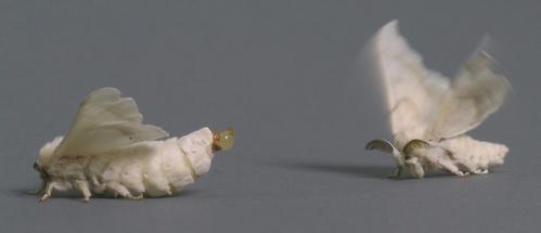 누에나방 암컷과 유인 된 수컷 (sucanr.edublogsbugsquad)