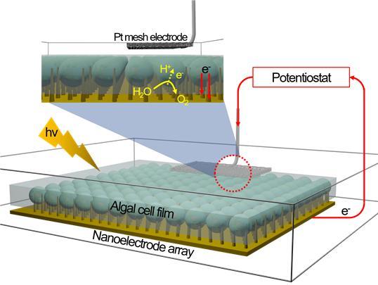 나노 전극이 삽입된 조류세포 필름 및 광합성 전자 추출 장치의 모습. 연세대 제공.