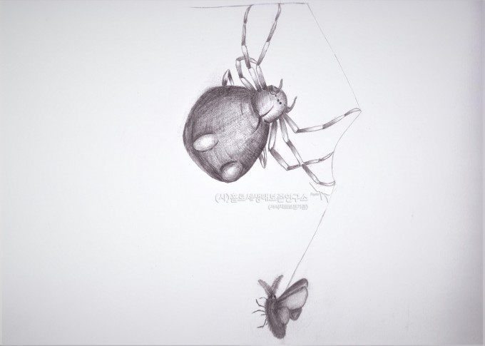 볼라스 거미 나방 포획