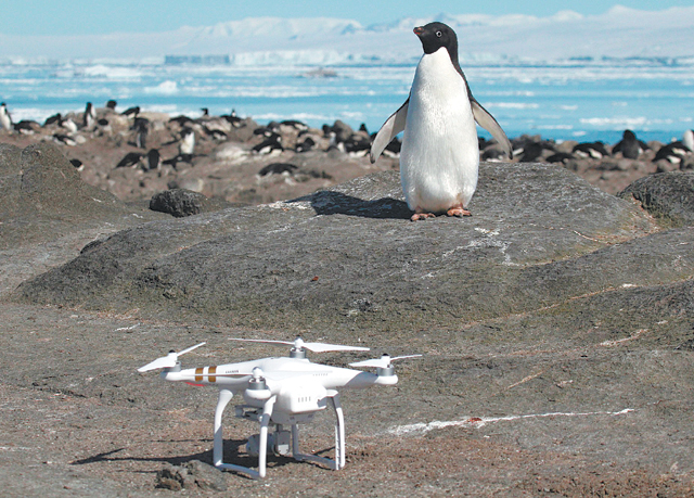 """드론 """"널 찾으러 왔다"""" 남극 아델리펭귄 앞에 서 있는 드론. 촬영 장비와 영상에서 자동으로 펭귄 개체수를 분석할 수 있는 프로그램을 결합해 올해 3월 처음으로 무리 전체의 개체수 파악에 성공했다. 스토니브룩대 제공"""