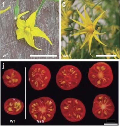 게놈편집기술로 야생 토마토(WT)의 FAS 유전자를 고장 내자(fas 5) 꽃잎 개수가 늘고 열매가 커졌다. -'네이처 생명공학' 제공