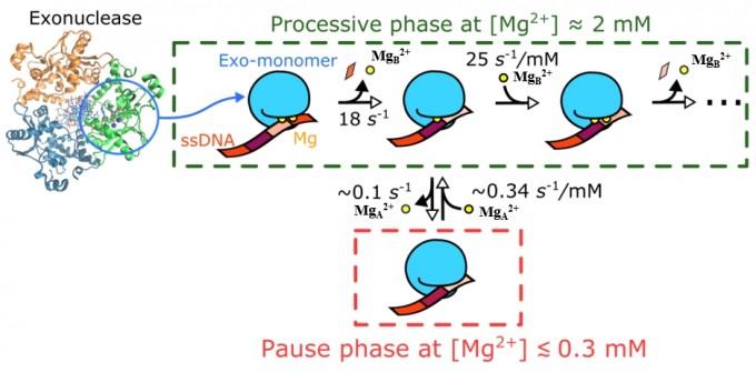 효소의 활성부위에 결합한 두 개의 마그네슘(MgA2+, MgB2+)이 제각각 다른 반응 속도와 반응형태를 나타내는 모식도. 광주과학기술원 제공.