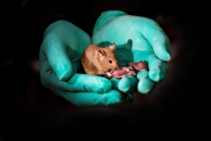 두 암컷 동성부모에서 태어난 쥐와 그 새끼. -사진제공 중국과학원