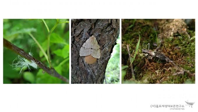 외래곤충(신부날개매미충, 매미나방, 갈색여치)