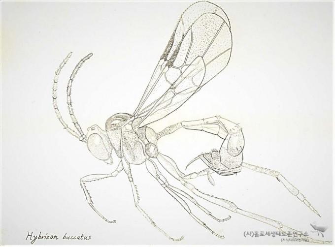 개미살이맵시벌