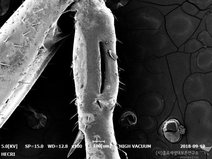 주사전자현미경(SEM)으로 촬영한 긴꼬리쌕쌔기 고막