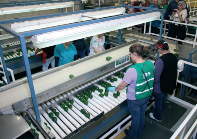 아보카도는 후숙 과일이라 포장과 수송과정에서의 탄소발자국 값이 크다. 사진은 아보카도 생산업체인 미국 캘리포니아주 '더미션 프로듀스'의 분류 작업장. - California Avocados(F) 제공