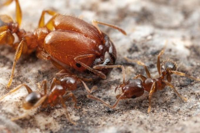 머리가 크게 발달한 군대 개미와 일개미의 모습이다. -Alex Wild 제공